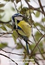 Herrerillo común, Mallerenga blava, Parus coeruleus