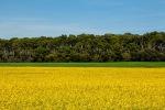 Ja tinc bandera per aquesta primavera: Blau cel, verd pi, verd blat i groc colza. T'agrada?